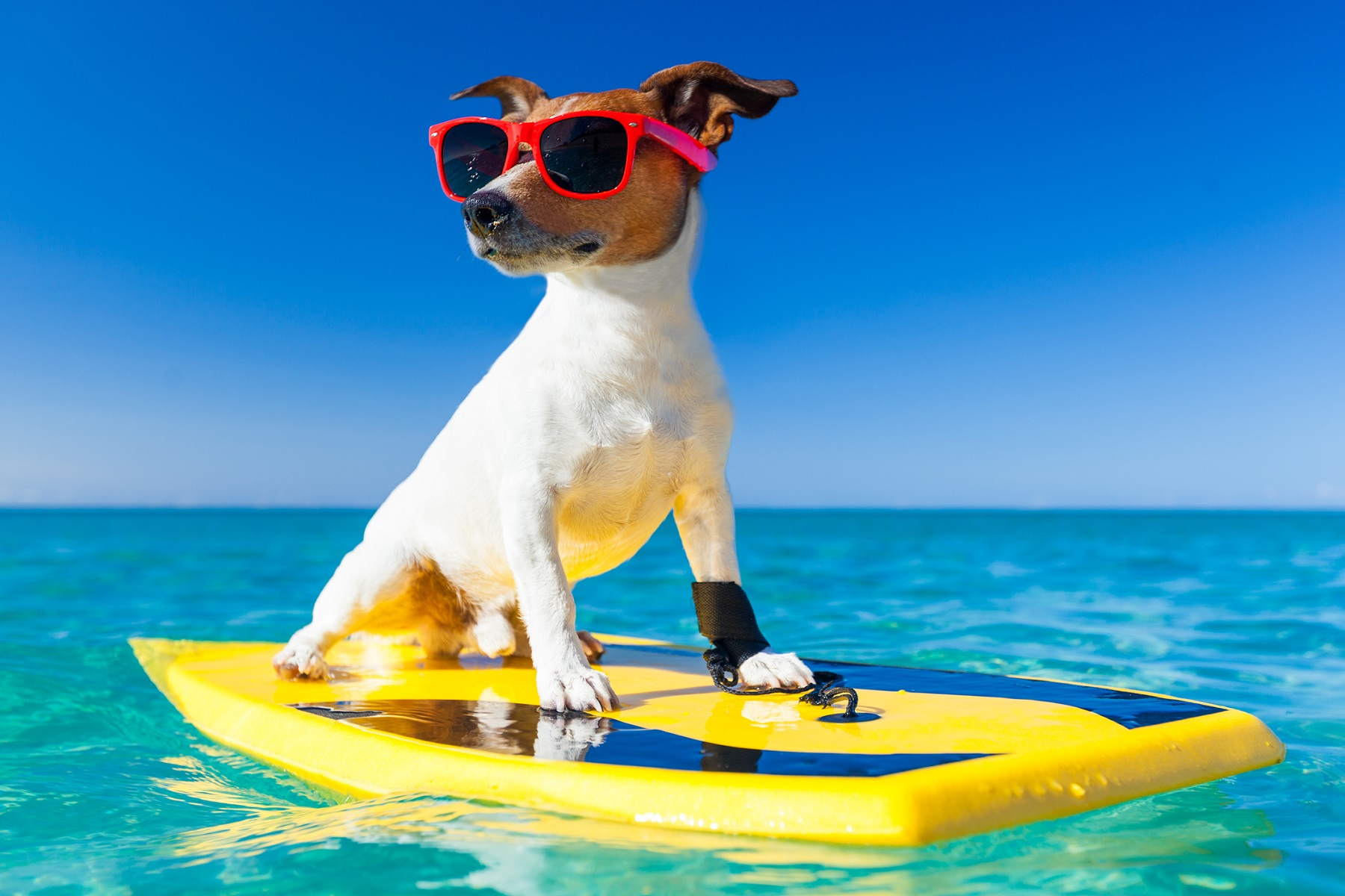 cool summer surfer dog